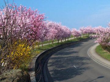 gimmeldinger mandelblüte